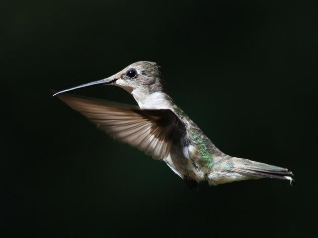 2016 Hummingbird Migration Celebration
